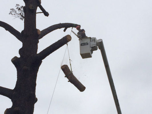 branch-out-tree-care-santa-barbara-ca-80-year-old-pine-removed-in-montecito-1
