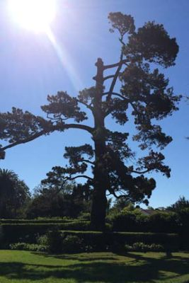 branch-out-tree-care-santa-barbara-ca-80-year-old-pine-removed-in-montecito