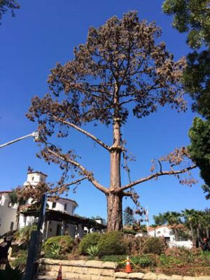 branch-out-tree-care-santa-barbara-ca-landmark-tree-removal-at-braille-institute-1