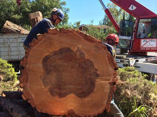 branch-out-tree-care-santa-barbara-ca-landmark-tree-removal-at-braille-institute-3
